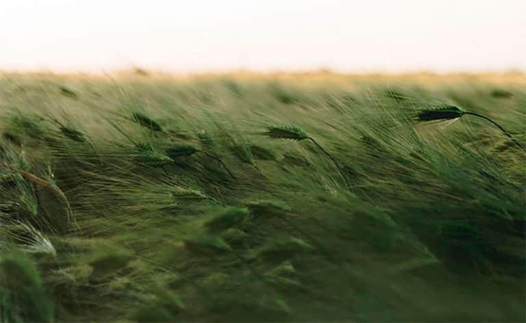 Vehreä tuulessa heiluva pelto.