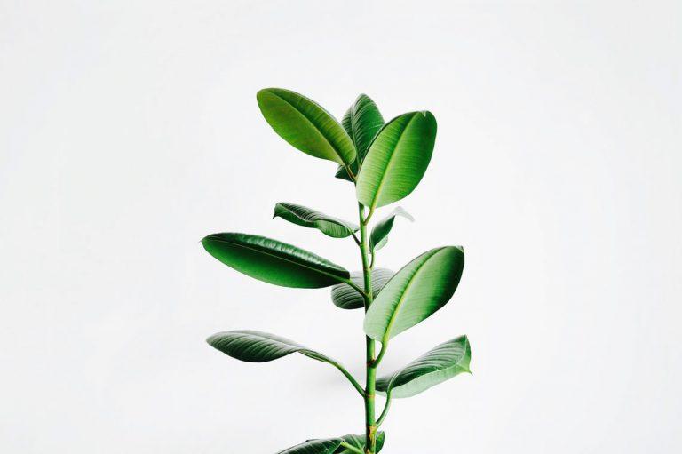Vehreä ja eloisa viherkasvi.